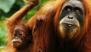 Researchers Find More Than 100,000 of Borneo's Orangutans Have Been Wiped Out In The Past 16 Years