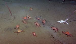 Researchers discover a flipping crab feeding on methane seeps